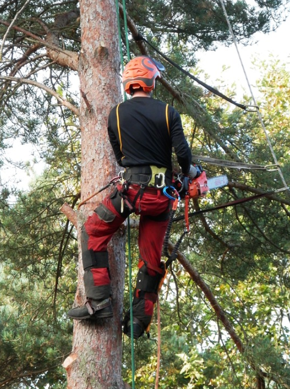 this is an image of tree pruning in mission viejo